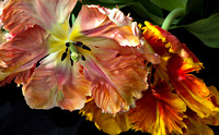 Parrot Tulips: Image 10