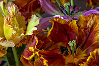 Parrot Tulips: Image 3