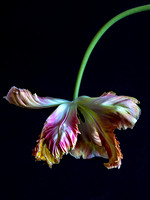 Parrot Tulips: Image 8