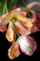Parrot Tulips: Image 2