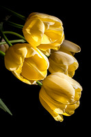 MAJESTIC TULIPS: EPHEMERAL BEAUTY collection
