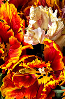 Parrot Tulips: Image 6